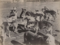 Les chiens des Constantinople