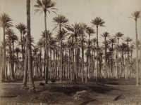 Palm forest. Sahara