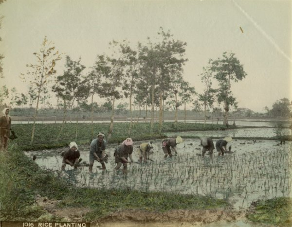 Peasants planting rice